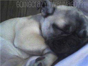 mommys girl {pug puppy} #SharetheLove
